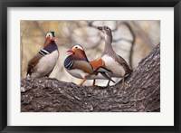 Framed Mandarin Ducks on a branch, Beijing, China