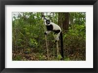 Framed Lemur, Madagascar