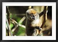 Framed Madagascar, Andasibe, Ile Aux Lemuriens, baby Golden Bamboo Lemur.