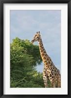 Framed Masai Giraffe, Botswana
