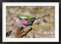 Framed Lilac Breasted Roller, Kruger National Park, South Africa