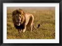 Framed Lion, Ngorongoro Crater, Serengeti National Park, Tanzania
