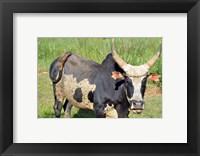 Framed Madagascar, Antananarivo, ox with large horn.