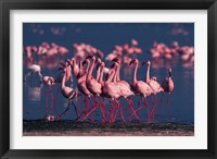 Framed Lesser Flamingo, Kenya