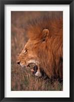 Framed Male Lion, Masai Mara, Kenya