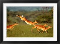 Framed Impala, Aepyceros melampus, Mara River, Kenya