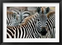 Framed Kenya: Masai Mara Game Reserve, Burchell's zebra