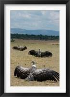 Framed Kenya: Masai Mara Reserve, Ruppell's Griffon vultures