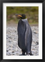 Framed Melanistic king penguin, King Penguins