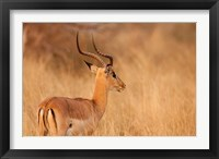Framed Impala in tall Bushman grass, Mahango Game Reserve, Namibia
