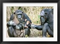 Framed Kenya, Chimpanzees at Sweetwaters Tented Camp