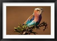 Framed Kenya, Masai Mara GR, Lilac-breasted Roller