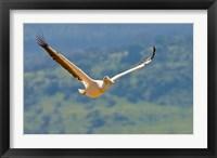 Framed Kenya. White Pelican in flight at Lake Nakuru.