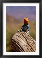 Framed Kenya: Namunyak Conservation Area, Agama Lizard on rock