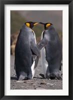 Framed King penguins, mating ritual