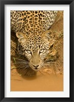 Framed Leopard at waterhole in Masai Mara GR, Kenya