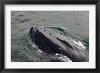 Framed Close up of Humpback whale, western Antarctic Peninsula