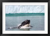 Framed Humpback whale, Antarctic