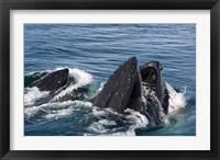Framed Humpback whales feeding, western Antarctic Peninsula