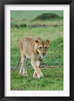 Framed Kenya: Masai Mara Game Reserve, Mara Conservancy, Lion