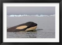 Framed Killer whale, Western Antarctic Peninsula