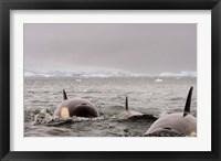 Framed Killer whales pod, western Antarctic Peninsula