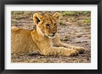Framed Lion Cub Laying in the Bush, Maasai Mara, Kenya