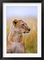 Framed Lion Sitting in the High Grass, Maasai Mara, Kenya
