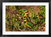 Framed Little Bee-eater tropical bird, Maasai Mara, Kenya