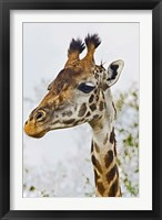 Framed Maasai Giraffe Feeding, Maasai Mara, Kenya