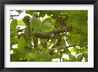 Framed Mauritius, Black River Gorges, Parakeet tropical bird