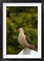 Framed Mauritius, Black River Gorges, Pink pigeon bird