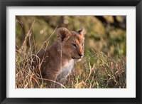 Framed Lion cub, Masai Mara National Reserve, Kenya