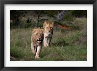 Framed Lion, Kariega Game Reserve, South Africa