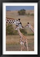 Framed Maasai Giraffe, Masai Mara, Kenya