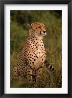 Framed Kenya: Masai Mara, head of mating cheetah