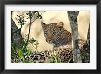 Framed Leopard resting beneath tree, Maasai Mara, Kenya