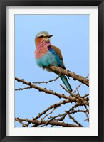 Framed Lilac breasted Roller, Serengeti National Park, Tanzania