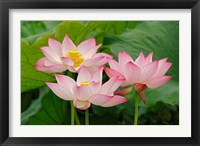 Framed Lotus flower, Nelumbo nucifera, China