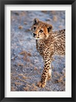 Framed Kenya, Cheetah in Amboseli National Park