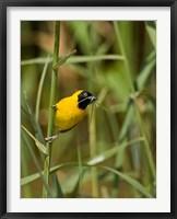 Framed Lesser Masked Weaver bird, Mkuze GR, South Africa