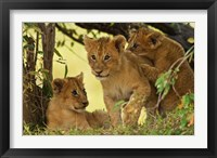 Framed Lion cubs in the bush, Maasai Mara Wildlife Reserve, Kenya