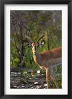 Framed Male Black-faced impala, Etosha National Park, Namibia