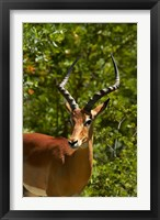 Framed Male Impala, Hwange National Park, Zimbabwe, Africa