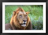 Framed Male Lion, Kruger National Park, South Africa