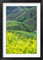 Framed Landscape of Canola and Terraced Rice Paddies, China