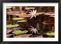 Framed Lily in bloom on the Du River, Monrovia, Liberia