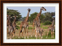 Framed Maasai giraffe, Serengeti NP, Tanzania.