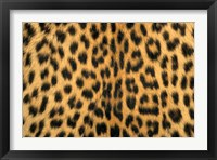 Framed Leopard, Masai Mara Reserve, Kenya