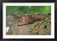 Framed Madagascar, Commerson's leaf-nosed bat wildlife